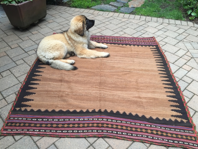 "Varamin sofreh, 66"" X 63"". Circa 1910-20. Wool and camel. Natural dyes. Perfect condition. The Leonberger puppy is not included."