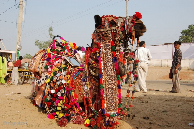 decoration of camel is also part of culture in thar desert of rajasthan.in kutch region of gujrat,in sindh region of pakistan, fabrics is embroidered as the size of camel body parts,for mouth  ...